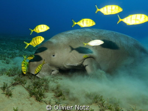one shot more of the Dugong I encountered last October by Olivier Notz 